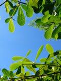 Ángulo bajo de la hoja del ivorensis de Terminalia y del cielo azul Foto de archivo
