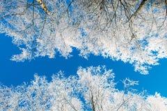 Ángulo bajo de los árboles del invierno Foto de archivo libre de regalías