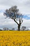 Árbol único en campo amarillo de la rabina foto de archivo
