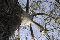 Árbol 01 del baobab Imágenes de archivo libres de regalías