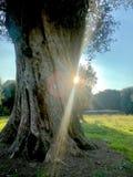 Árbol Fotografía de archivo libre de regalías