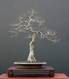 Árbol 9 de los bonsais Imagen de archivo