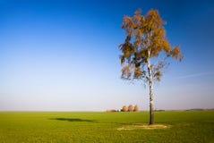 Árbol. abedul Imagen de archivo libre de regalías
