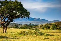 Árbol africano de la salchicha en Savannah Masai Mara Kenya imagenes de archivo