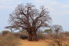 Árbol africano del baobab (digitata del Adansonia) Foto de archivo libre de regalías