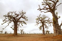 Árbol africano del baobab en campo de los árboles de los baobabs Foto de archivo libre de regalías