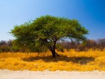 Árbol africano típico del acacia Foto de archivo