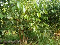 Árbol agradable del canela de fotos srilanquesas Fotografía de archivo