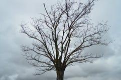 Árbol agradable sin las hojas con un carpintero In The Village de la jerarquía del pájaro de Medinaceli Arquitectura, historia, v foto de archivo libre de regalías