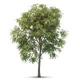 Árbol aislado. Imagen de archivo libre de regalías