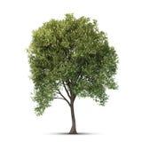 Árbol aislado. Fotografía de archivo libre de regalías