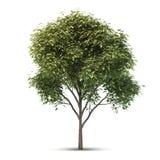 Árbol aislado. Imágenes de archivo libres de regalías