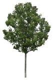 Árbol aislado 2 Foto de archivo