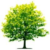 Árbol aislado ilustración del vector