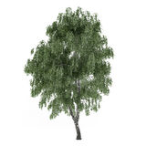 Árbol aislado. Abedul de Betula Fotos de archivo libres de regalías