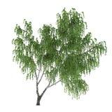Árbol aislado. Abedul de Betula Foto de archivo