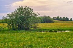 Árbol aislado cerca de un pantano en una naturaleza de la primavera imágenes de archivo libres de regalías