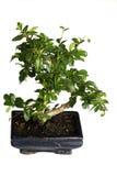 Árbol aislado de los bonsais Fotos de archivo libres de regalías