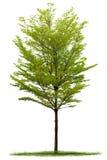 Árbol aislado de Terminalia Imágenes de archivo libres de regalías