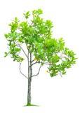 Árbol aislado en blanco Fotografía de archivo libre de regalías