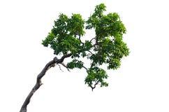 Árbol aislado en blanco Imágenes de archivo libres de regalías
