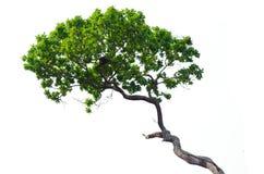 Árbol aislado en blanco Imagenes de archivo