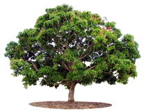 Árbol aislado en blanco Fotos de archivo libres de regalías