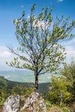 Árbol aislado en cumbre en parte rocosa de la colina durante día de primavera agradable con el cielo azul Fotografía de archivo