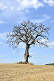 Árbol aislado en el campo toscano Imagen de archivo