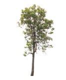 Árbol aislado en el fondo blanco Foto de archivo