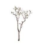 Árbol aislado en el fondo blanco Foto de archivo libre de regalías