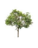Árbol aislado en el fondo blanco Fotos de archivo libres de regalías