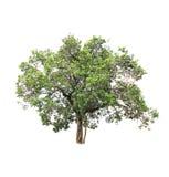 Árbol aislado en el fondo blanco Imagen de archivo libre de regalías