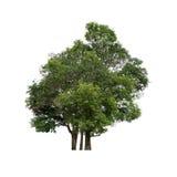 Árbol aislado en el fondo blanco Fotografía de archivo libre de regalías