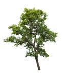 Árbol aislado en el fondo blanco Imagen de archivo