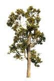 Árbol aislado en el fondo blanco Fotos de archivo