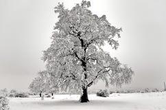 Árbol aislado en invierno Imagenes de archivo