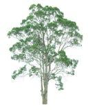 Árbol aislado en un fondo blanco con la trayectoria de recortes Foto de archivo libre de regalías