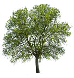 Árbol aislado sobre blanco Imagenes de archivo