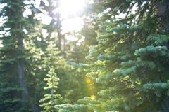 Árbol alpino Fotos de archivo libres de regalías