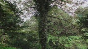 Árbol alto con las ramas largas demasiado grandes para su edad con las plantas en una cuesta en el jardín botánico de la selva tr almacen de metraje de vídeo