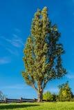 Árbol alto contra el cielo azul imagenes de archivo