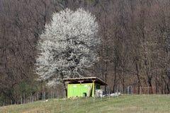 Árbol alto poderoso con las flores blancas puras que suben arriba sobre la estructura del almacenamiento del patio trasero delant imágenes de archivo libres de regalías