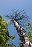 Árbol alto sin las hojas Imagen de archivo