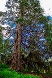 Árbol alto verde y muy viejo hermoso en el bosque Fotos de archivo