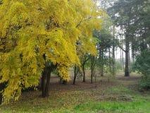 Árbol amarillo fotos de archivo
