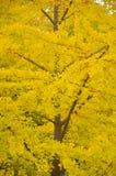 Árbol amarillo Fotos de archivo libres de regalías