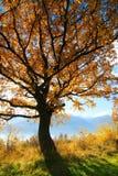Árbol amarillo Imagen de archivo libre de regalías