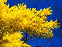 Árbol amarillo Fotografía de archivo