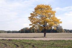 Árbol amarillo Imagen de archivo